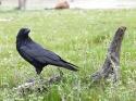 Composición con cuervo