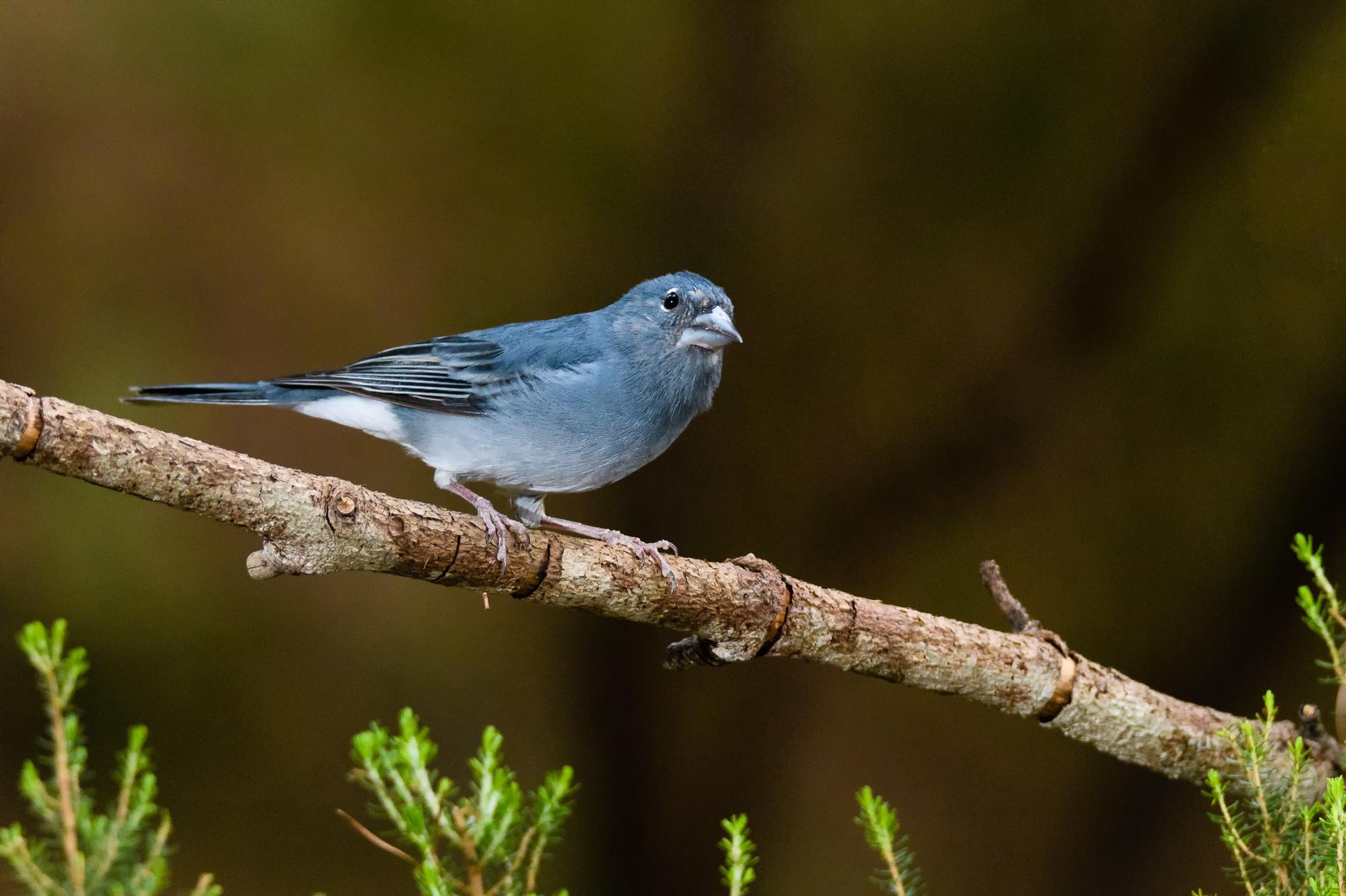Pinzón azul de Tenerfie (Fringilla teydea)