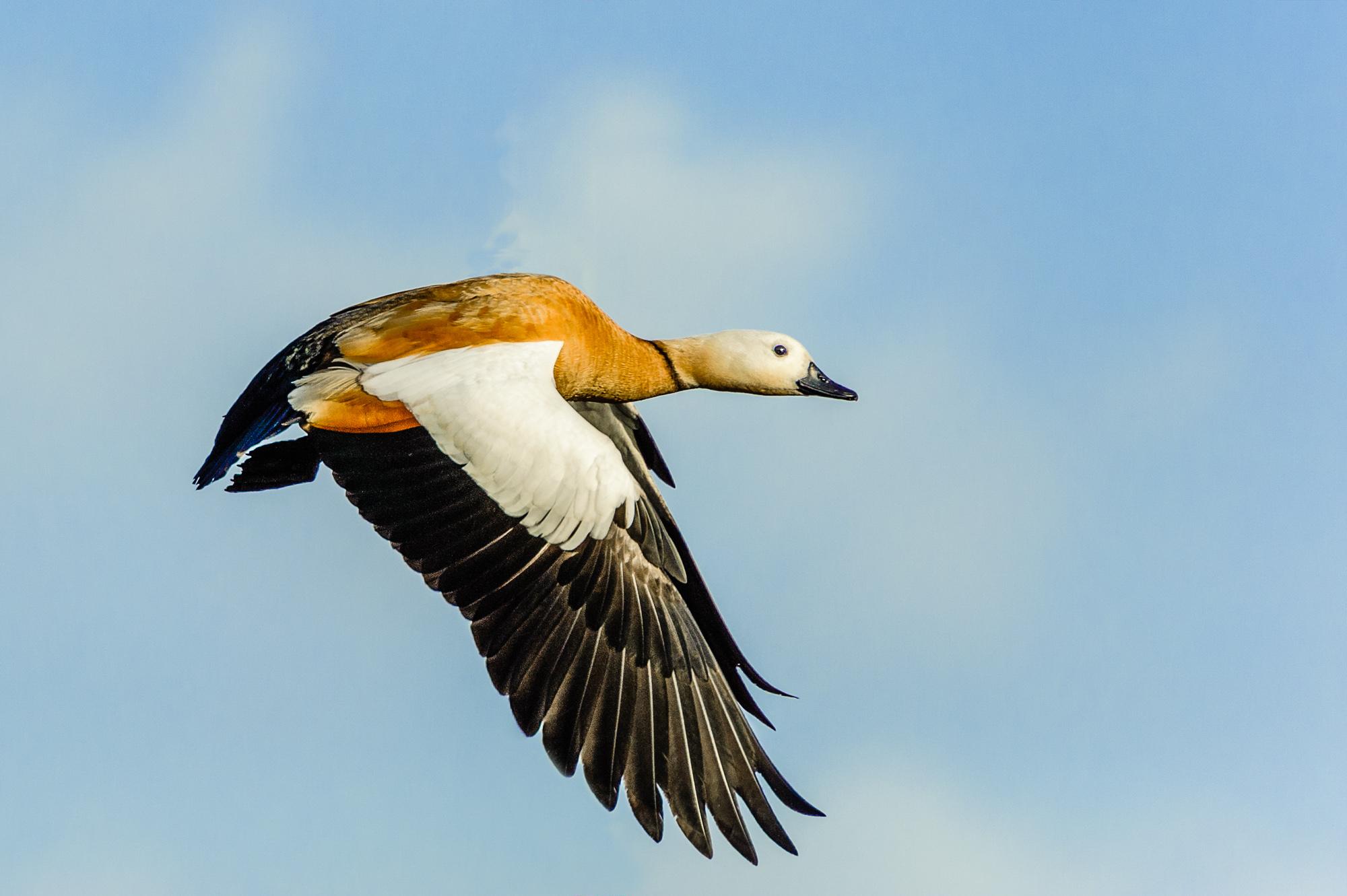 Tarro canelo (Tadorna ferruginea) al vuelo