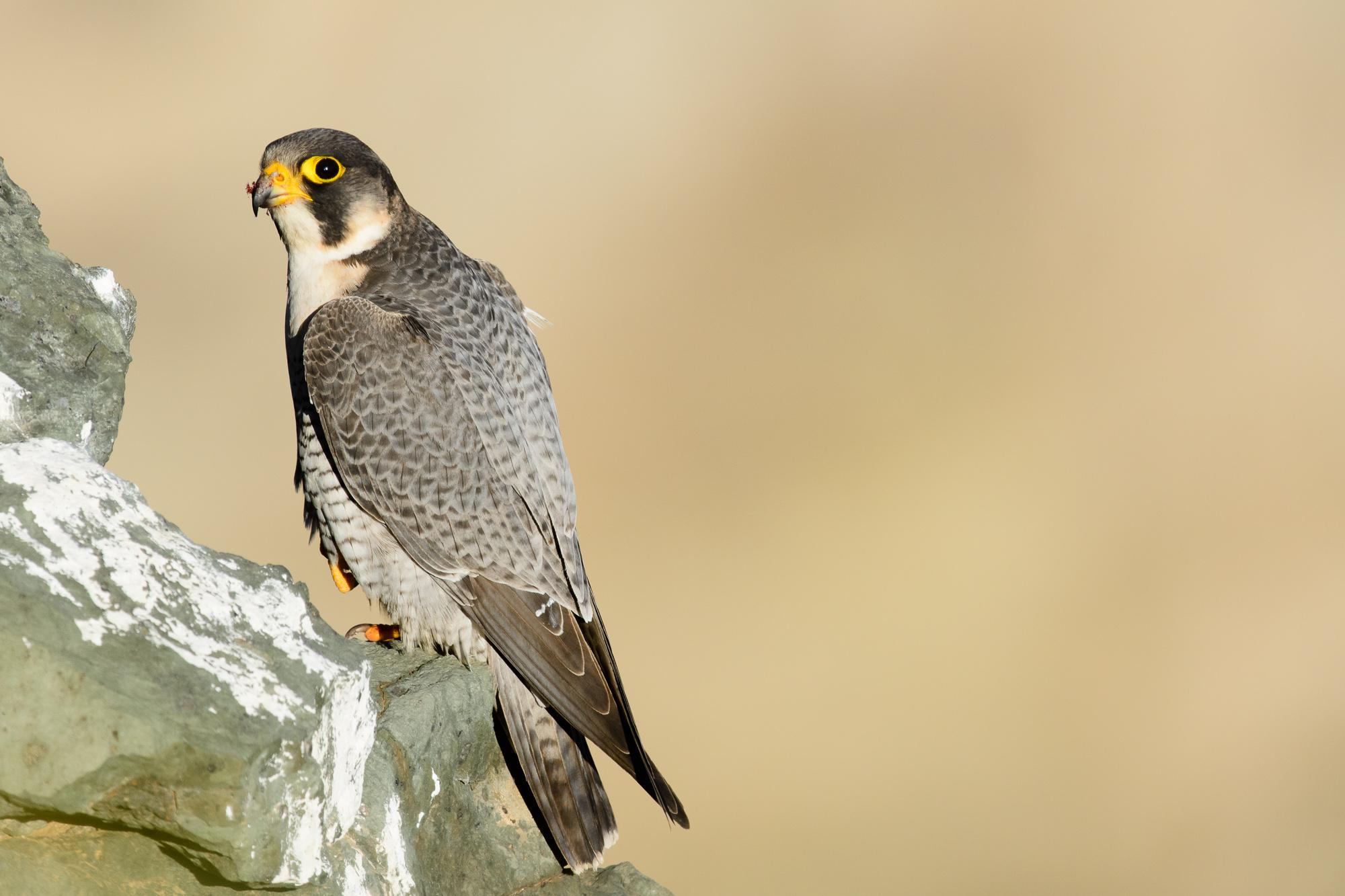 Halcón tagarote (Falco pelegrinoides).