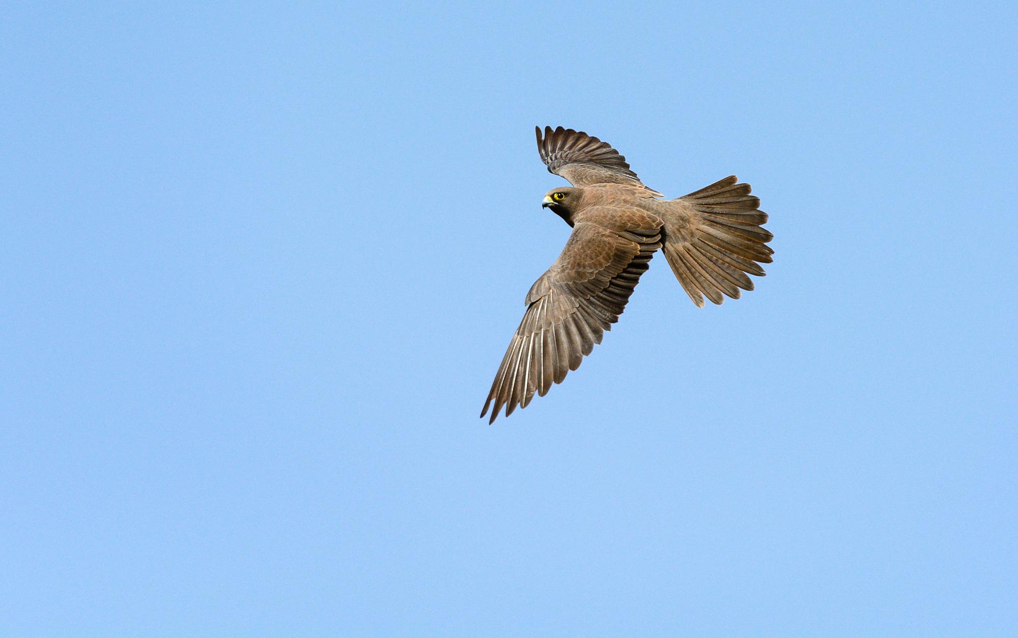 Halcón de Eleonor (Falco elenorae) fase melánica.