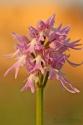 Orquídea de los hombrecillos